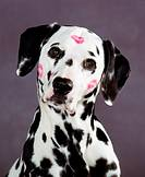Dalmation