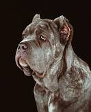 Neapolitan Mastiff