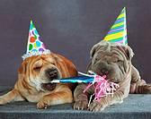 Shar-pei dogs