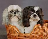 Two Shih Tzu in basket