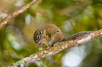 Borneon mountain ground squirrel Dremomys everetti cloud forest Kinabalu National Park Sabah Borneo Malaysia