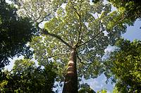 Poring rainforest canopy Sabah Borneo Malaysia