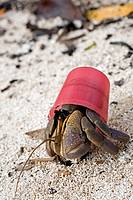 This marine hermit crab is capable of staying out of the water for long periods  Seen at the waters edge, the crab has utilised a plastic lid, instead...