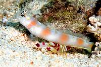 A Steinitz goby living in a symbiotic relationship with this Randalls snapping shrimp  The shrimp can be seen cleaning sand from the communal burrow