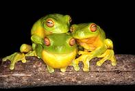 Three Red Eyed Tree Frogs together on a branch as night