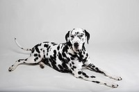 Adult Dalmatian lying in studio