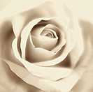 Close_up of white rose