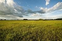 Field with Grass_delicate, Corumbá, Mato Grosso do Sul, Brazil