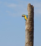 Macaw, Bonito, Mato Grosso do Sul, Brazil