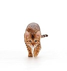 young Bengal cat _ creeping _ cut out
