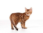 young Bengal cat _ standing _ cut out