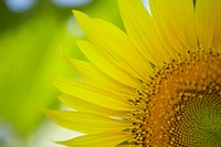 Sunflower, close up