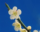 Plum flowers on branch, close up, blue background