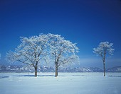Snow covered trees, Hokkaido Prefecture, Japan