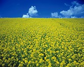 Rape blossom field under a blue sky
