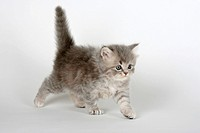 British Longhair Cat, kitten, 5 weeks, blue_silver_tabby, Highlander, Lowlander, Britanica