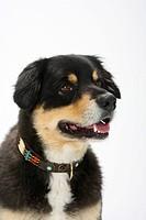 Australian Shepherd, tricolour, sheared, collar