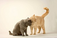 British Shorthair Cats, pair, blue and cream