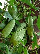 Fruits of a Sponge Gourd, Luffa cylindric