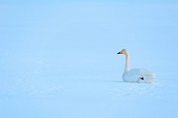 Norway, Lapland, Lofoten Islands, Whooper Swan Cygnus cygnus