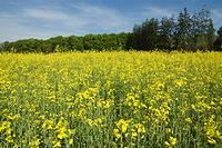 Rapeseed field  Spain