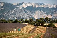 Lavender fields near the Gorges Du Verdon in the Provence region of France