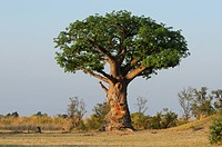 Tree, Lianshulu Lodge, Mudumu, National Park, Caprivi, Namibia, Africa, Travel, Nature