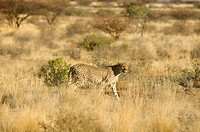 Cheetah, animal, Acinonyx jubatus, Quiver Tree Restcamp, Keetmanshoop, Karas Region, Namibia, Africa, Travel, Nature