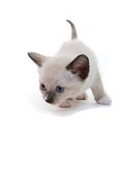 lilac point Siamese kitten
