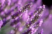 France, Provence, lavander