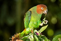 Papua New Guinea, East Sepik Province, region of Maprik, village of Nelikum, local place of Bauwage, parrot