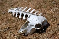 Schafs Skelett