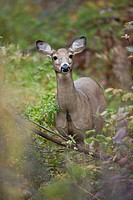 Canada, Quebec, Cap Tourmente National Wildlife Area, white_tailed deer ocoileus virginianus