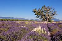 Lavender field in full blossom at Valensole plateau. Alpes-de-Haute-Provence, France