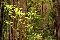 Lush vegetation occurs in the spring in Prairie Creek Redwoods State Park, California