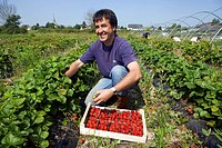 France, Ille et Vilaine, Saint Méloir des Ondes, Les Petits fruits rouges de la baie in Clossets, Mr Pichot harvesting Maras des Bois strawberries