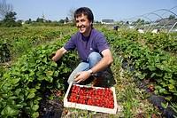 France, Ille et Vilaine, Saint Méloir des Ondes, Les Petits fruits rouges de la baie in Clossets, Mr Pichot harvesting Maras des Bois strawberries