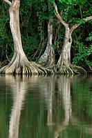 Pterocarpus officinalis trees with buttressed root, Caruao river, Vargas coast, Venezuela