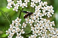 Scoliid Wasp Feeding on Yarrow
