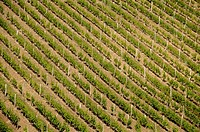 Vineyard of Monbazillac  Dordogne  South west France