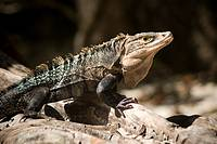 A spiny-tailed iguana, Ctenosaura sp , basking in the sun  Photographed in Costa Rica