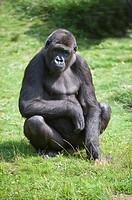 Western Lowland Gorilla Gorilla gorilla gorilla, Critically endangered IUCN 2009 Gorille des plaines de l'Ouest Gorilla gorilla gorilla, Fortement men...
