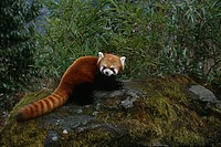 Red Panda Wolong Panda Preserve Sichuan Province China