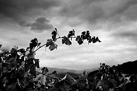 Grapes from the Priorat region  Designation of origin or wine appellation  Quality wines  Catalonia, Spain  Black and White