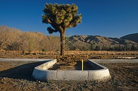 Parking lot development w/Joshua Tree California desert USA Spring