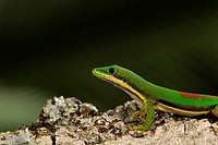 Lined Day Gecko (Phelsuma lineata)