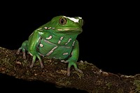 Painted Monkey Frog (Phyllomedusa sauvagii)