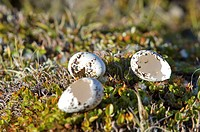 Greenland, Angmassalik Region, Tiniteqlaaq, Rock Ptarmigan Egg Shell