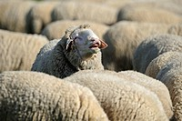 Domestic Sheep, Merino Sheep