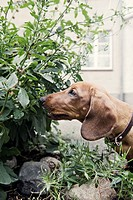 A dachshund sniffing at plants Sweden.
